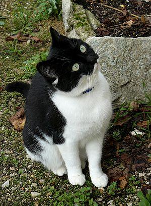 Français : Chatte noir et blanc, agée de 2 ans...