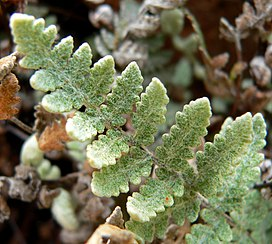 Cheilanthes parryi 4.jpg