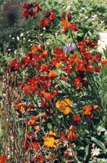 Erysimum cheiri cultivar