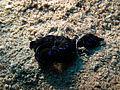 Chelidonura livida, Dahab 2.jpg