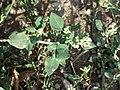 Chenopodium vulvaria sl73.jpg