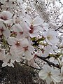 Cherry Blossoms near Library in Huangzhou District, Huanggang, Hubei 1.JPG