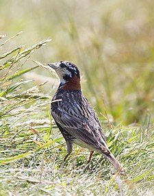 Chestnut-Collared Longspur - 2nd Maine Record.jpg