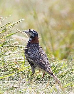 Chestnut-collared longspur species of bird