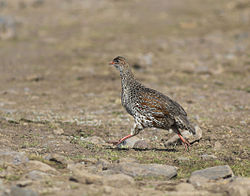 Chestnut-naped Francolin.jpg