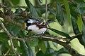 Chestnut-sided Warbler (male) Anahuac NWR-Jackson Prairie Woodlot TX 2018-04-24 15-03-16 (40249876640).jpg