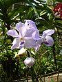Chiang Mai Orchids P1110350.JPG