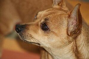 Chihuahua (dog) - A shorthair deer head Chihuahua