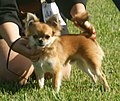 Chihuahua long-haired red sable.jpg