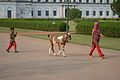 Children And Goat Returning Home - Hazarduari Complex - Nizamat Fort Campus - Murshidabad 2017-03-28 6518.JPG