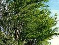 Chiminango (Pithecellobium dulce) (14516761597).jpg