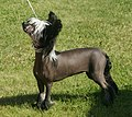 Chinese Crested naked 1.jpg