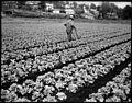 Chinese gardener VPL 41621 (10984259635).jpg
