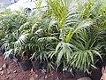 Chinese palm.jpg