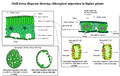 Chloroplast migration drill down diagram.png