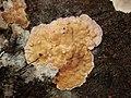 Chondrostereum purpureum 59370080.jpg