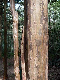 <i>Backhousia subargentea</i> Species of tree