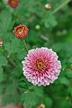 Chrysanthemum - Science City - Kolkata 2012-01-11 8030.JPG