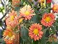 Chrysanthemum morifolium 4.JPG