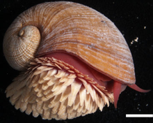 Right side view of a white snail, white scales on its foot and a red body.