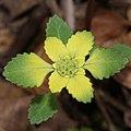 Chrysosplenium nagasei (flower s10).jpg