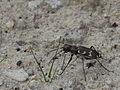 Cicindela hybrida (Cicindelidae) (9049880240).jpg