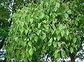 Cinnamomum camphora7.jpg
