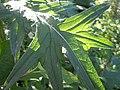 Cirsium vulgare (4995176740).jpg