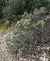 Cistus albidus, Saint-Rémy-de-Provence cf01.jpg