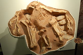 Feathered dinosaur - A nesting Citipati osmolskae specimen, at the AMNH