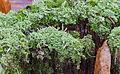 Cladonia coniocraea - gewöhliche Säulenflechte - Hesse - Germany - 05.jpg