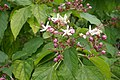 Clerodendrum trichotomum in Jardin des plantes 01.jpg