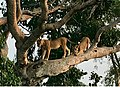 Climbing Lions in Ishasha in Kanungu District.jpg
