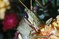 Closeup of grasshopper on a flower.jpg