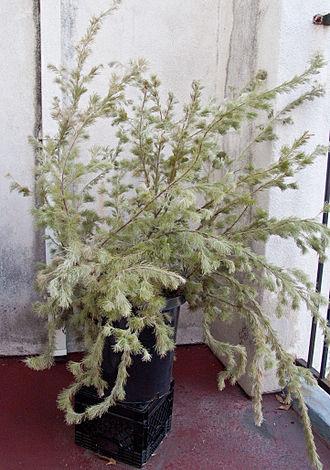 Adenanthos sericeus subsp. sericeus - Image: Coastal woollybush