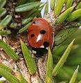 Coccinella septempunctata - Flickr - S. Rae (5).jpg