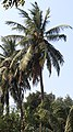 Cocos nucifera (India WCT) close-up.jpeg