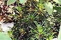 Codiaeum variegatum 25zz.jpg