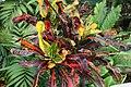 Codiaeum variegatum var. pictum 2zz.jpg