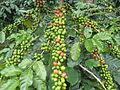 Coffee beansd.jpg