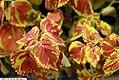 Coleus scutellarioides Freckles 2zz.jpg