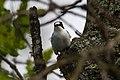 Collared Flycatcher (Ficedula albicollis) (14180500770).jpg