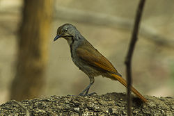 Collared Palm-Thrush - Malawi S4E3382 (19357367852).jpg