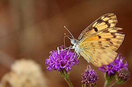 Colotis aurigineus.jpg