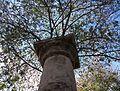 Columna i arbre, jardins de l'hospital de València.JPG