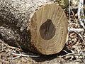Combretum apiculatum, hout, Phakama, b.jpg