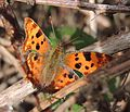 Comma butterfly (Polygonia c-album), Bedfordshire (15129479342).jpg