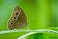 Common Bushbrown - Mycalesis perseus.jpg
