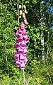 Common Foxglove (Digitalis purpurea) - panoramio.jpg
