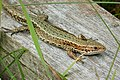 Common Lizard Lacerta vivipara (39418397552).jpg